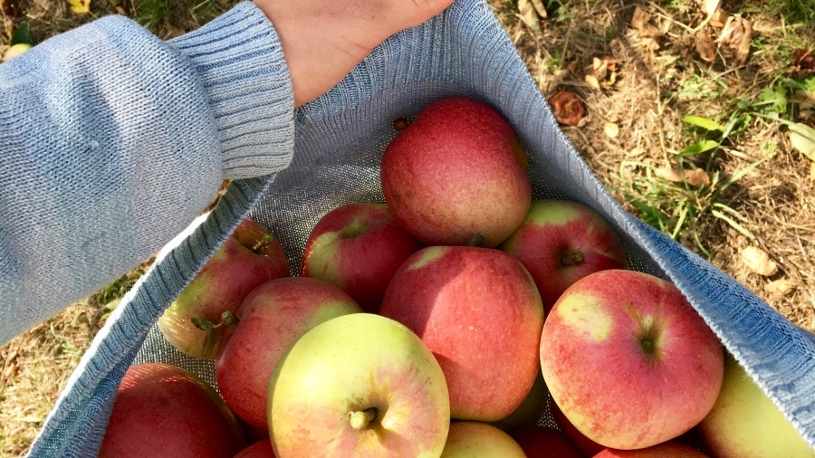 Äpfel faulen am baum