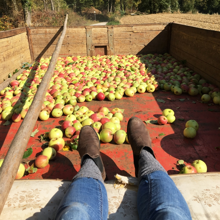 Anhänger beladen mit reifen Äpfeln