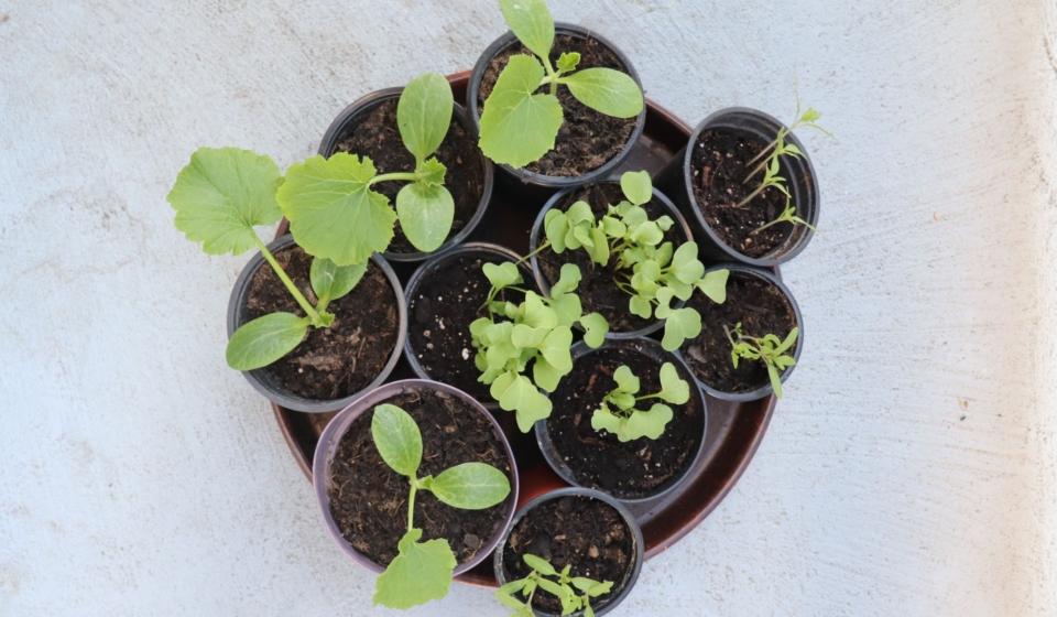 Balkon-Pflanzen-Anzucht auf der Fensterbank